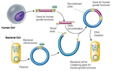 Process Of Recombinant DNA Technology (Genetic Engineering ...