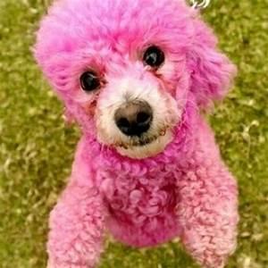 Pink poodle puppy - cute! | Pink Poodle | Pinterest