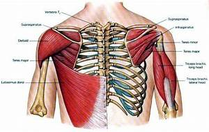 Flashcards - Shoulder - what is the Glenoid? what is the ...