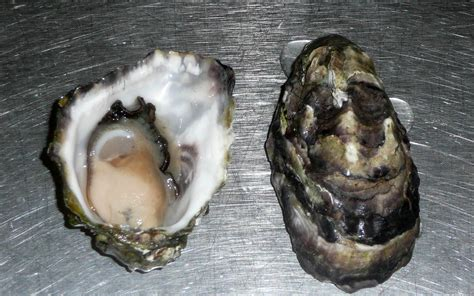 oyster wallpaper  background animals town