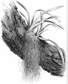 Luftwurzeln Bei Orchideen : luftwurzel wikipedia ~ Frokenaadalensverden.com Haus und Dekorationen