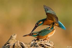 WKD (01) ... World Kigo Database . . . (WKD): Kingfisher ...  Kingfisher