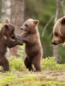 advice cards for the animal pictures bears play fighting goodtoknow