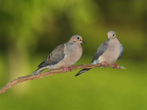 pair of mourning doves free images at clker com vector
