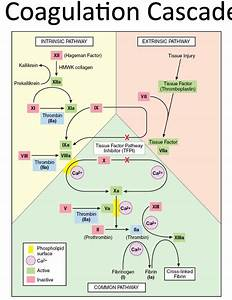 22 Best Images About Clotting Cascade On Pinterest