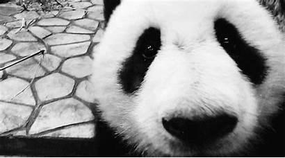 Panda Bear Pandas Gifs Animal Animals Anime