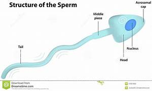 Structure Of The Sperm Stock Vector