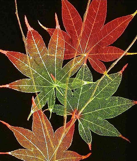 etched skeletonized leaves  frame japanese maple