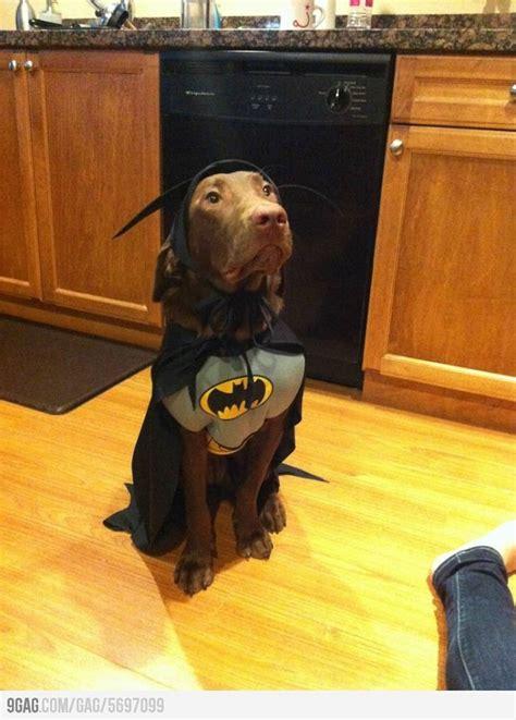 costumes  prove labradors  win  halloween