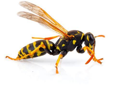 nutzen wespen nutzen wespen finest wespe with nutzen wespen
