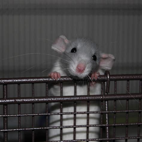 Best 25+ Pet rats ideas on Pinterest | Diy rat toys, DIY ...