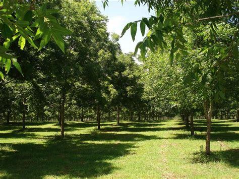 pecan mahan  tree carya illinoinensis