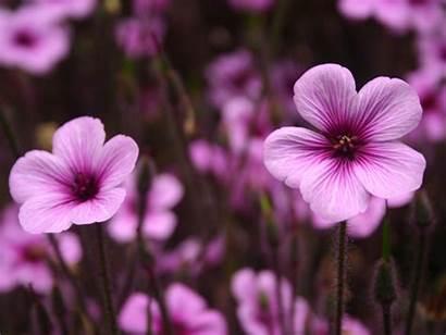 Purple Flowers Wallpapers Resolutions Normal
