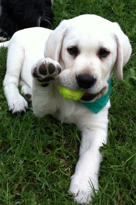 best ideas about labradors on 25 best ideas about white lab on white lab
