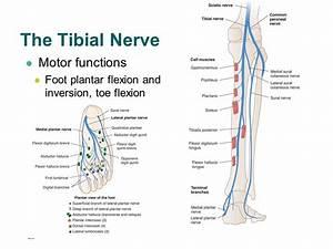 Tibial Nerve Injury   Cause  Symptom  Diagnosis