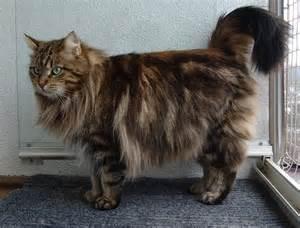 moggyblog com siberian cat