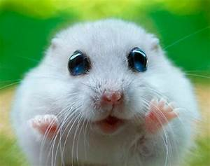 Pics For > Cutest Dwarf Hamster In The World