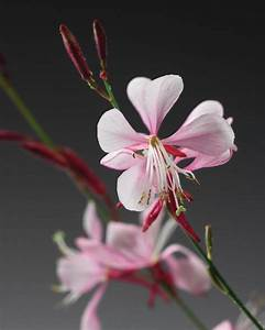 Stratosphere™ Pink Picotee - Butterfly Flower - Gaura ...