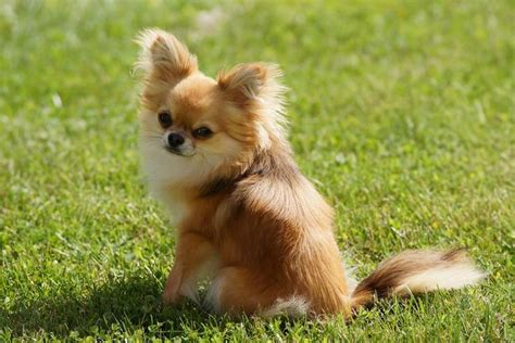 17 best images about chihuahua long coated cuties on