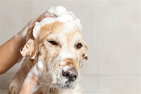 How Often To Shower Puppy by Probiotics For S Yeast Infection