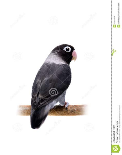 black masked lovebird stock images image 27199674