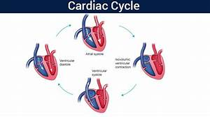 The Cardiac Cycle And The Regulation Of Cardiac Activity