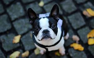 French Bulldog Full HD Wallpaper and Background ...