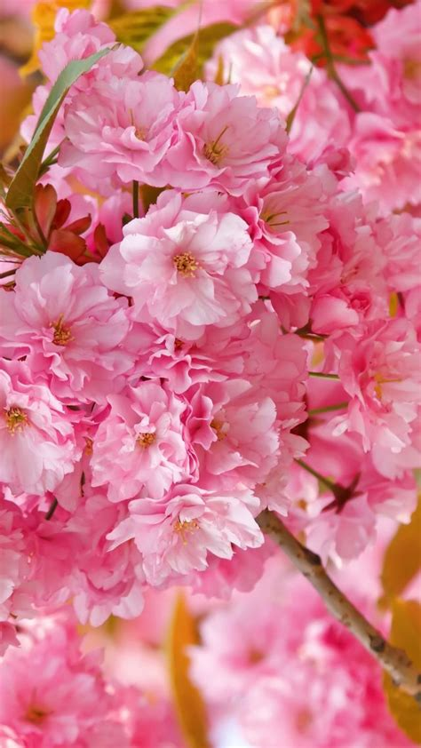 wallpaper sakura  hd wallpaper cherry blossom pink
