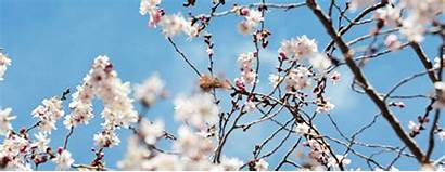 Blossom Cherry Japanese Trees Lady 1912 Info