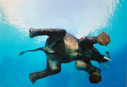Elephant Floating Animals Elephants Wallpapers Underwater Animal
