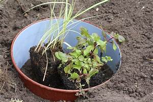 Kuebelpflanzen Winterhart Bluehend : gauklerblume mimulus cupreus ~ Whattoseeinmadrid.com Haus und Dekorationen