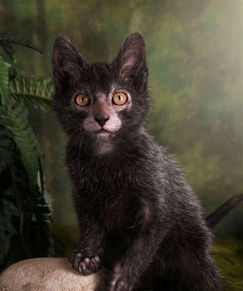 Lykoi Cats  The Werewolf Cat  Haft Cat Haft Wolf