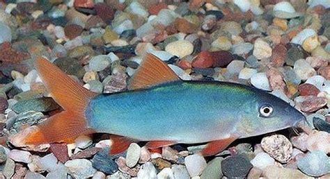 botia modesta blue blauwe roodstaart fish i like