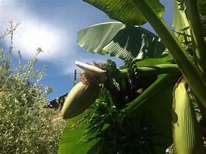 Exotische Früchte Im Eigenen Garten : bananen im eigenen garten grillforum und bbq www ~ Lizthompson.info Haus und Dekorationen