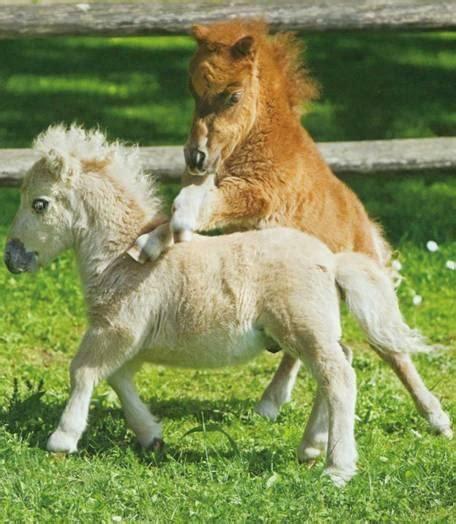 falabella horse info origin history pictures