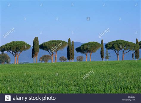 pin parasol et cypres paysage province de grosseto toscane italy stock photo royalty free image