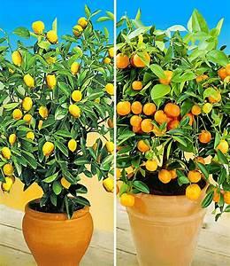 Dünger Für Zitronenbaum : zitronen orangenbaum 2 pflanzen g nstig online kaufen ~ Watch28wear.com Haus und Dekorationen