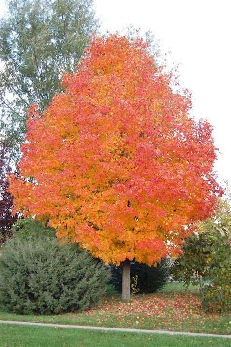 best maple trees for fall color king of color 5 years hummingbirds and the machine