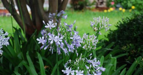 how to divide agapanthus plants what grows there agapanthus hardiness issues
