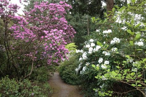 rhododendron federal way rhododendron species botanical garden picture of rhododendron species botanical garden