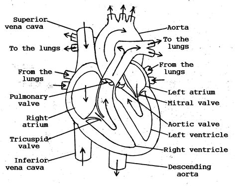 11 Best Images Of Blank Heart Diagram Worksheet With Word Bank  Label Heart Diagram Worksheet