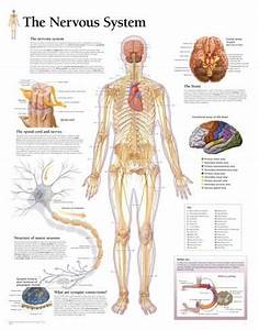 The Nervous System Educational Chart Poster Print - at ...