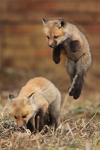Baby red foxes | Fox | Pinterest