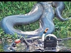 Giant Anaconda Snake in the Amazon River