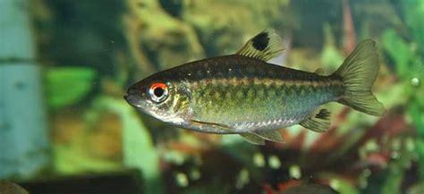 african red eye behaviour shoaling habitat size water ph