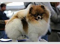 01Particolor Pomeranian Dog Showjpg