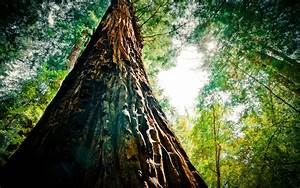 sequoia Archives HD Wallpapers
