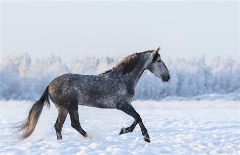 horse andalusian gray mural wall murals dapple animal plain grey muralswallpaper