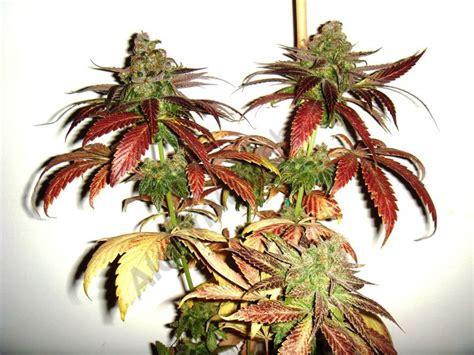 informations sur la culture de cannabis en int 233 rieur pour d 233 butants du growshop alchimia