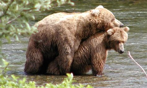 brown bear frequently asked questions katmai national